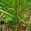 Catherine MAHYEUX - Geranium columbinum L.