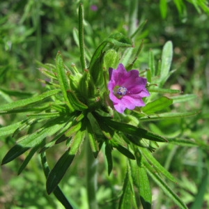 Photographie n°60078 du taxon Geranium dissectum L.