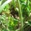 Catherine MAHYEUX - Geranium molle L.