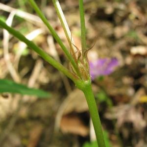 Photographie n°60095 du taxon Geranium nodosum L.