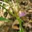 Catherine MAHYEUX - Geranium nodosum L.