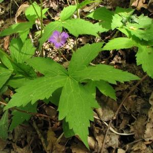 Photographie n°60096 du taxon Geranium nodosum L.