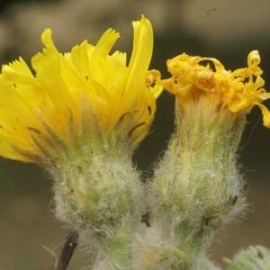 Hieracium eriophorum St.-Amans (Épervière à poils blancs)