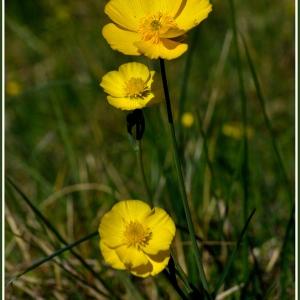 Photographie n°60367 du taxon Ranunculus bulbosus L. [1753]