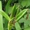 Catherine MAHYEUX - Iris pseudacorus L.