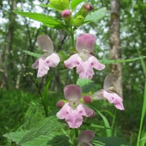 Photographie n°60389 du taxon Melittis melissophyllum L. [1753]