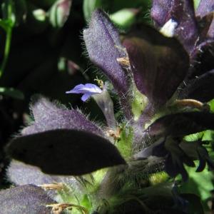 Photographie n°60409 du taxon Ajuga pyramidalis var. pyramidalis