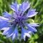 Hugues TINGUY - Centaurea cyanus L.