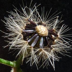 - Hieracium maculatum Schrank [1789]