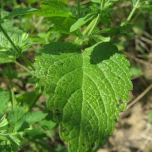 Photographie n°60468 du taxon Melissa officinalis L.