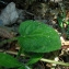Catherine MAHYEUX - Prunella grandiflora (L.) Schöller
