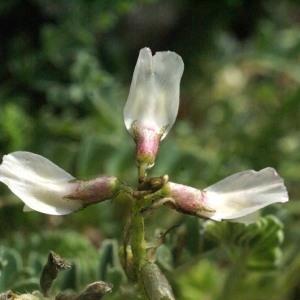 Astragalus depressus L. (Astragale nain)
