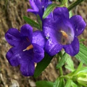 Photographie n°60573 du taxon Campanula medium L. [1753]