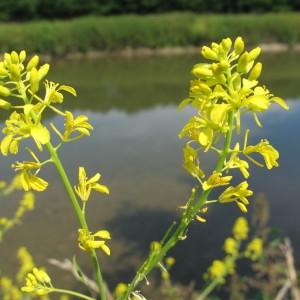 Photographie n°60624 du taxon Brassica nigra (L.) W.D.J.Koch
