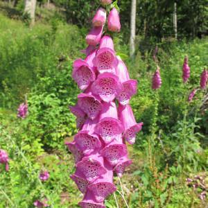 Photographie n°60629 du taxon Digitalis purpurea L.