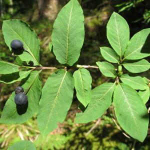 Photographie n°60633 du taxon Lonicera nigra L. [1753]