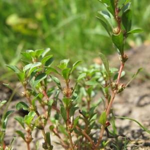 Photographie n°60643 du taxon Lythrum portula (L.) D.A.Webb