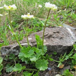 Photographie n°60668 du taxon Ranunculus alpestris L.