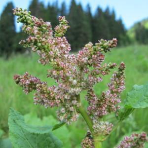 Rumex alpinus L. (Oseille des Alpes)