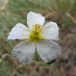 Helianthemum apenninum subsp. masguindalii (Pau) Rivas Mart. & al. (Hélianthème des Apennins)