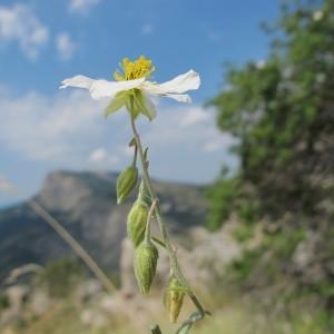 Photographie n°60734 du taxon Helianthemum apenninum subsp. apenninum