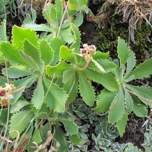 Photographie n°60748 du taxon Primula marginata Curtis