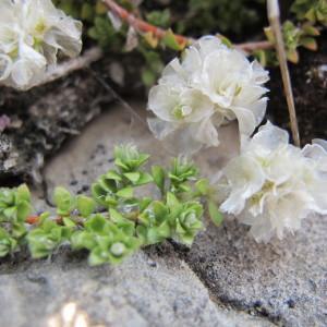 Paronychia kapela (Hacq.) A.Kern. (Paronyque de Kapel)