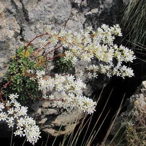 Photographie n°60766 du taxon Saxifraga callosa Sm.