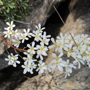 Photographie n°60767 du taxon Saxifraga callosa Sm.