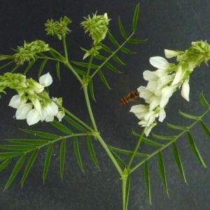 Photographie n°60865 du taxon Galega officinalis L. [1753]