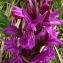 Catherine MAHYEUX - Dactylorhiza majalis (Rchb.) P.F.Hunt & Summerh. [1965]
