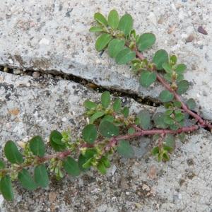 Photographie n°61015 du taxon Euphorbia prostrata Aiton