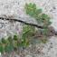 Bertrand BUI - Euphorbia prostrata Aiton