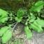 Gabriel CHAPUIS - Knautia integrifolia (L.) Bertol. [1836]