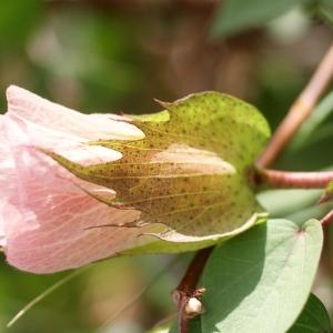 Gossypium barbadense f. eggersii Roberty (Coton)