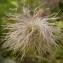 Liliane Roubaudi - Pulsatilla alpina subsp. apiifolia (Scop.) Nyman [1878]