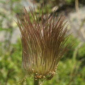 Photographie n°61150 du taxon Pulsatilla alpina subsp. apiifolia (Scop.) Nyman [1878]