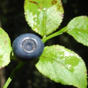 Photographie n°61172 du taxon Vaccinium myrtillus L.