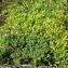 Liliane Roubaudi - Vaccinium uliginosum subsp. uliginosum