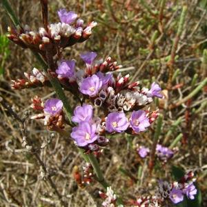 Limonium dodartii (Girard) Kuntze (Limonium de Dodart)