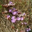 Catherine MAHYEUX - Limonium dodartii (Girard) Kuntze