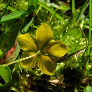 Photographie n°61286 du taxon Lysimachia nemorum L.