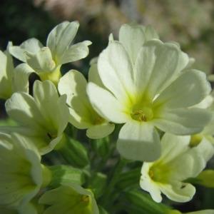 Photographie n°61292 du taxon Primula elatior (L.) Hill [1765]