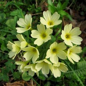 Photographie n°61294 du taxon Primula elatior (L.) Hill [1765]