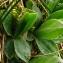 Catherine MAHYEUX - Primula integrifolia L. [1753]