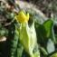 Catherine MAHYEUX - Primula veris subsp. veris