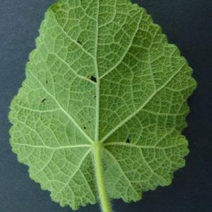 Photographie n°61323 du taxon Alcea rosea L. [1753]