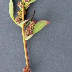 Photographie n°61326 du taxon Chenopodium rubrum L. [1753]