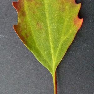 Photographie n°61327 du taxon Chenopodium rubrum L. [1753]
