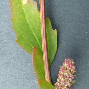 Photographie n°61329 du taxon Chenopodium rubrum L. [1753]